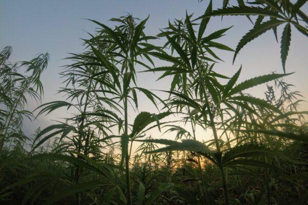 Eco-zine seeks eco-activists to discuss benefits of hemp